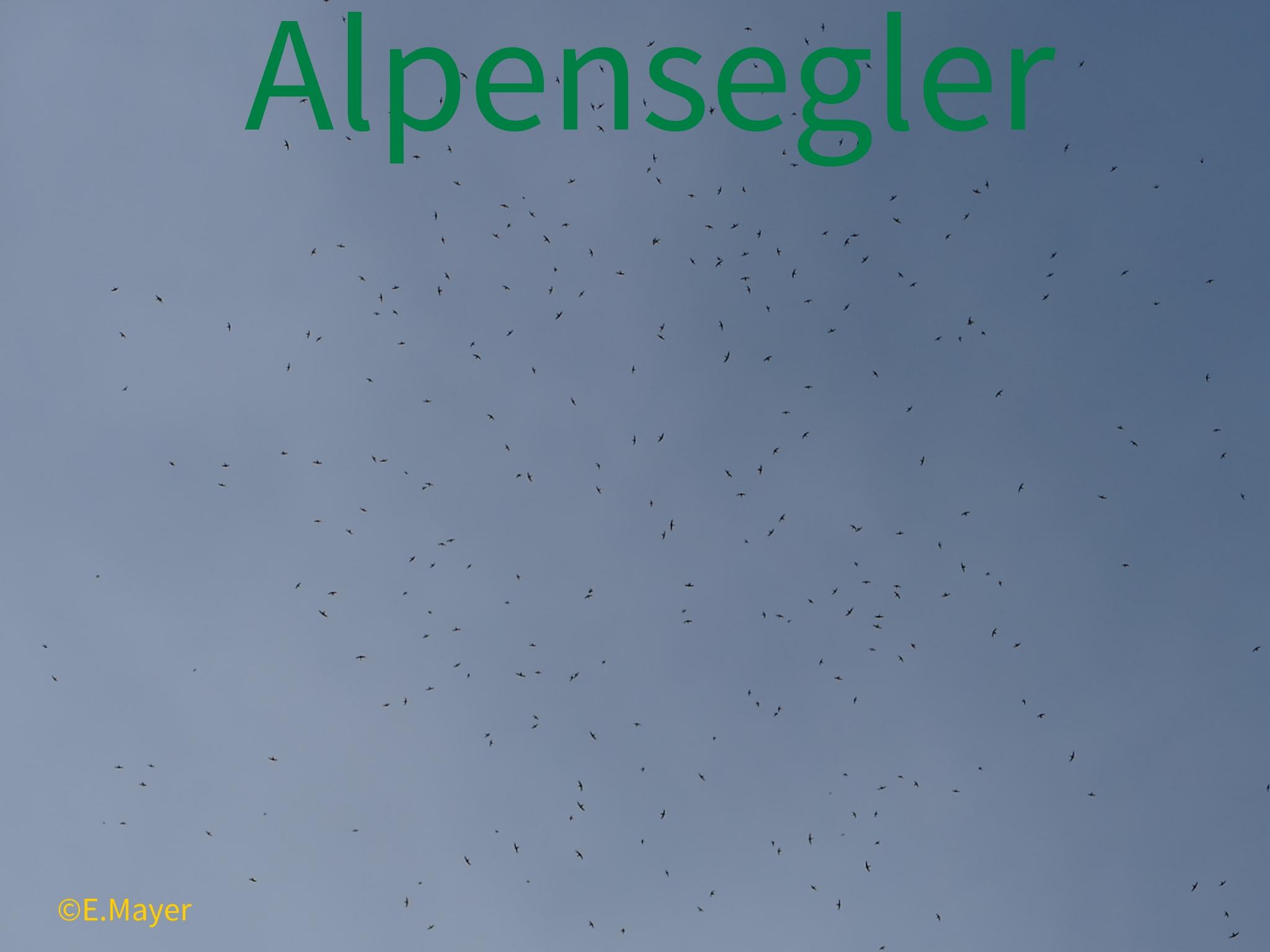 20170719_Alpensegler